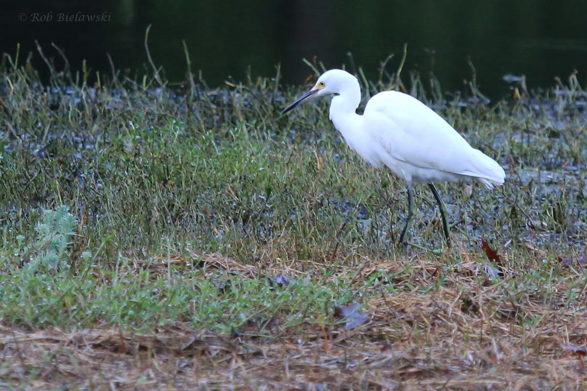 Snowy Egret / 30 Sep / Kings Grant Lakes