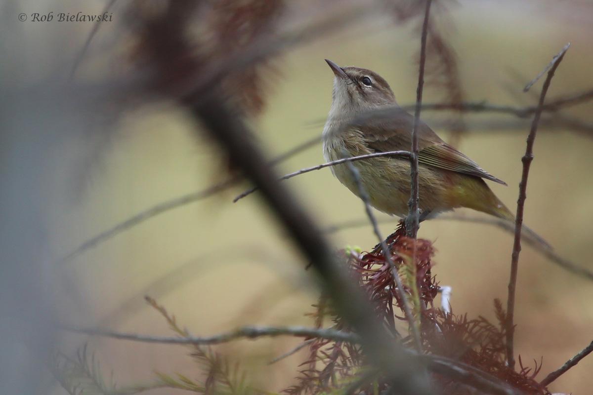 Palm Warbler / 30 Sep / Back Bay NWR