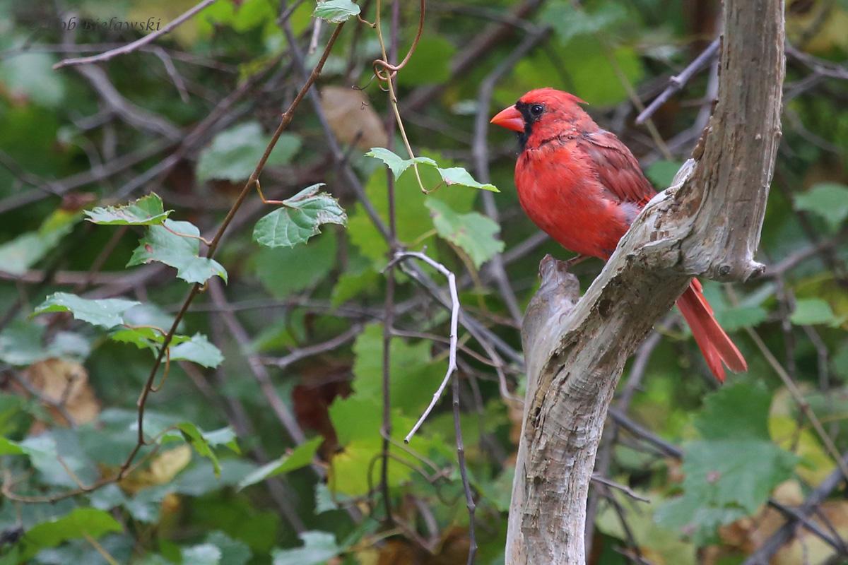 Northern Cardinal / 3 Oct / Lake Lawson & Lake Smith NA