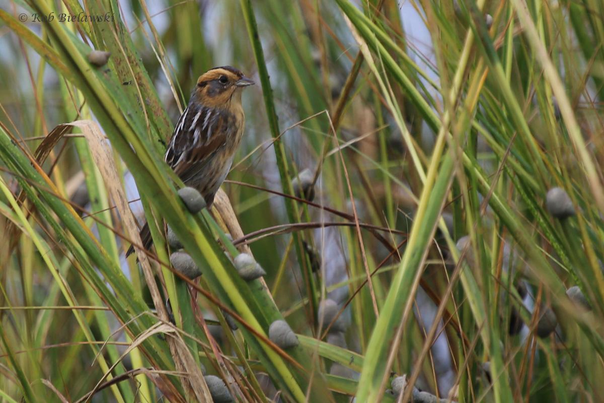 Nelson's Sparrow / 8 Oct / Pleasure House Point NA