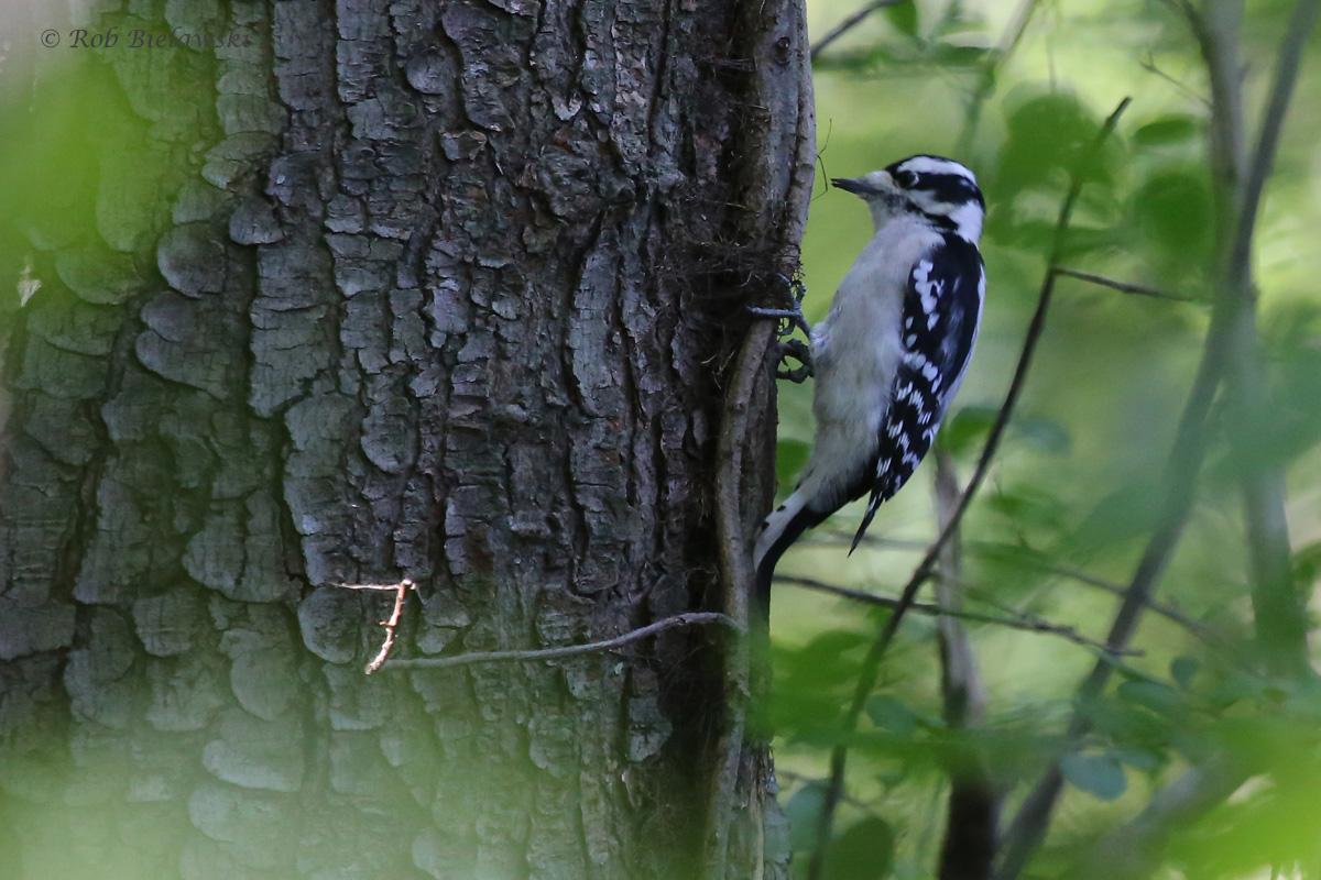 Downy Woodpecker / 11 Oct / Francis Land HP