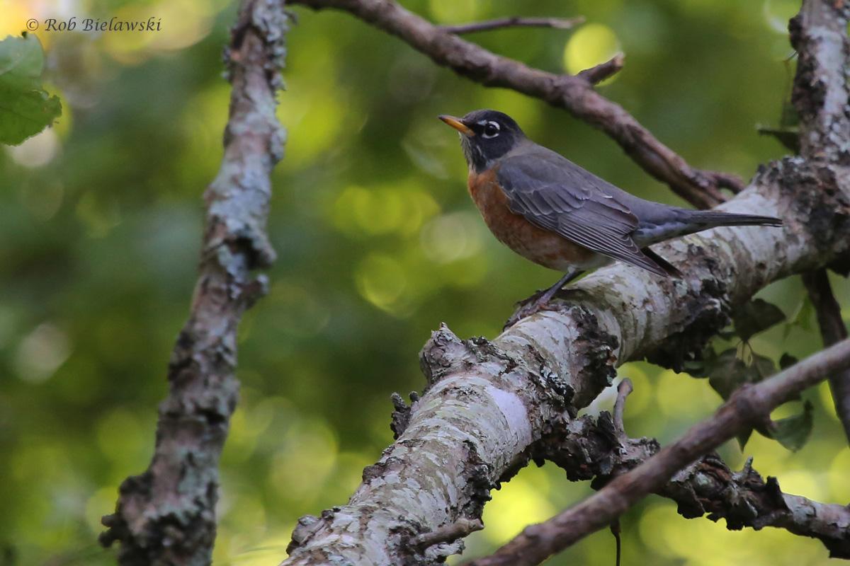 American Robin / 11 Oct / Francis Land HP