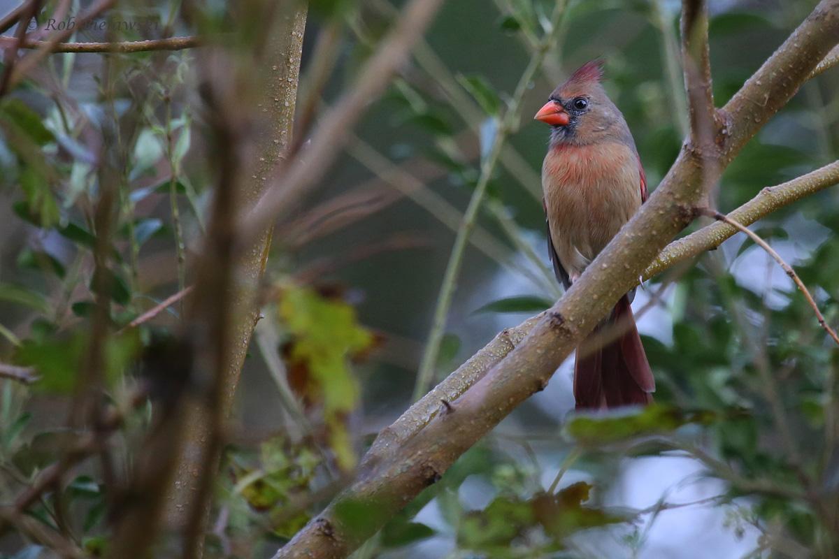 Northern Cardinal / 12 Oct / Kings Grant Lakes