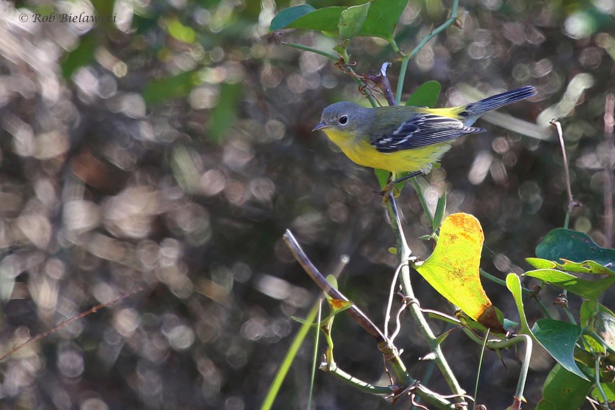 Magnolia Warbler / 12 Oct / Little Island Park