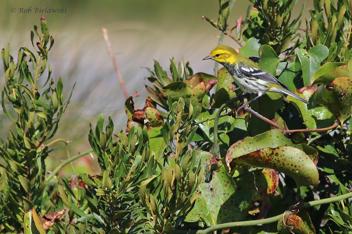 Black-throated Green Warbler / 12 Oct / Little Island Park