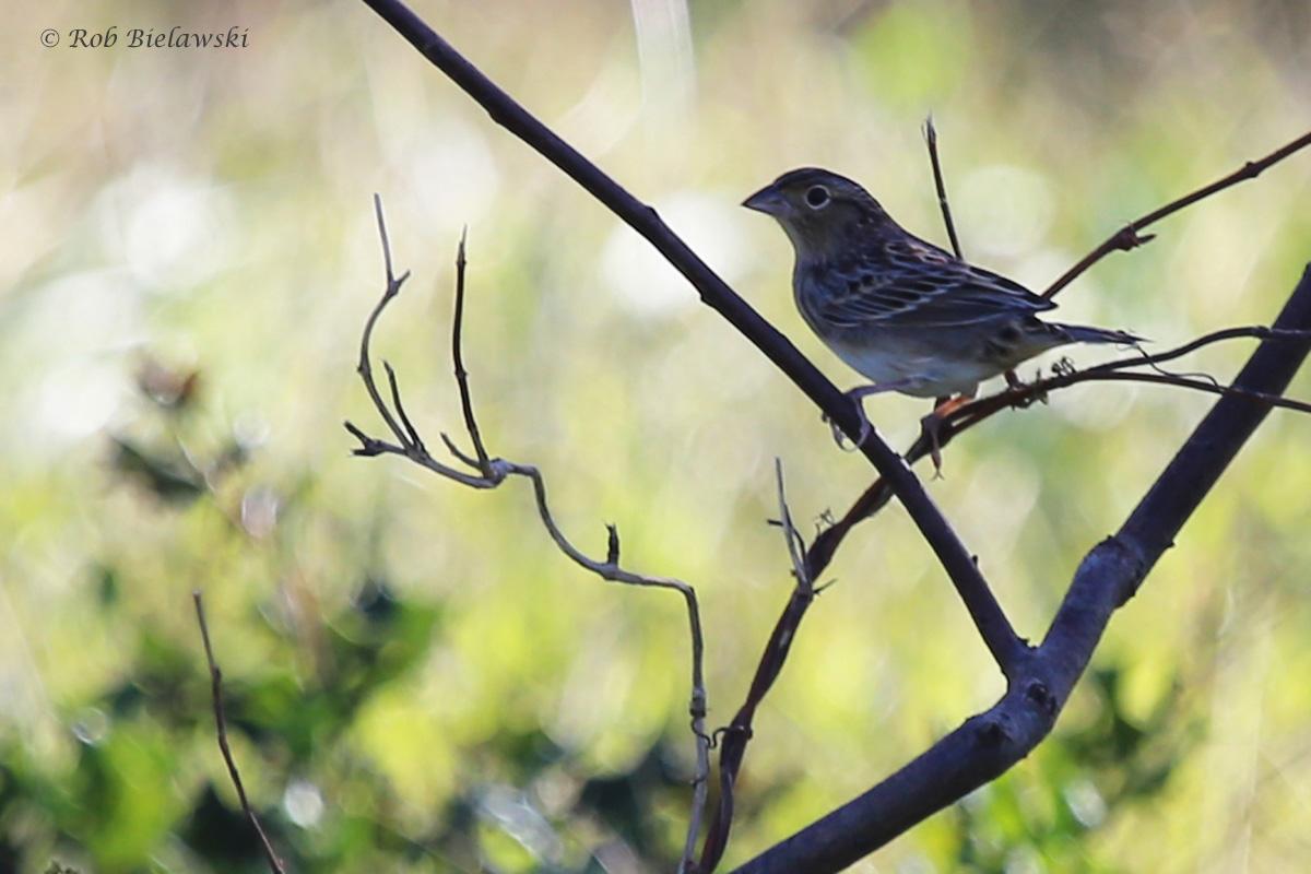 Grasshopper Sparrow / 12 Oct / Back Bay NWR