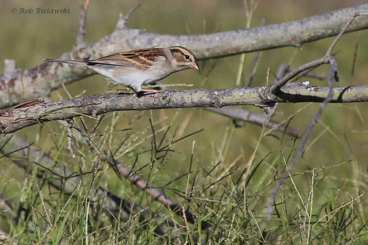 Chipping Sparrow / 12 Oct / Back Bay NWR