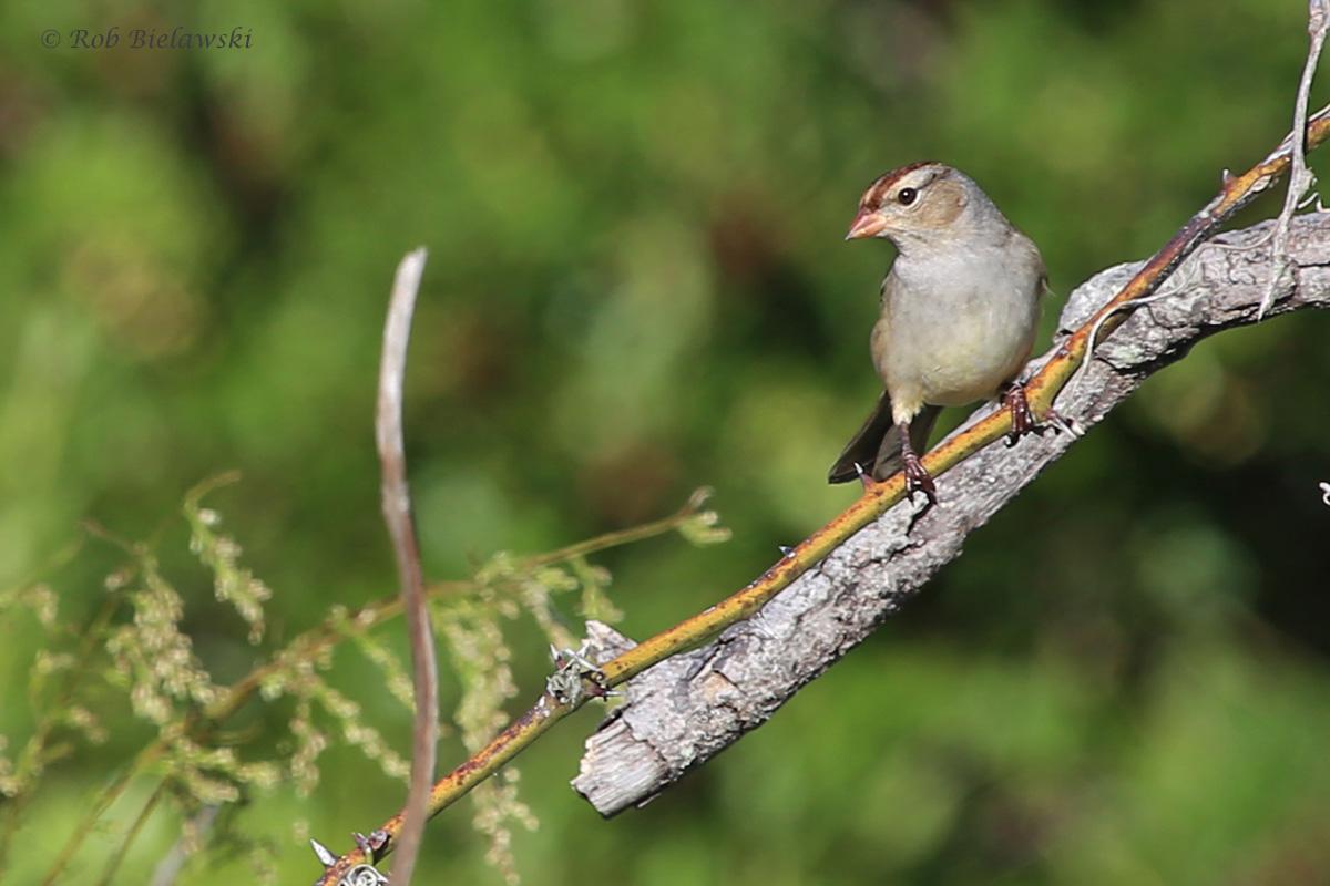 White-crowned Sparrow / 12 Oct / Back Bay NWR