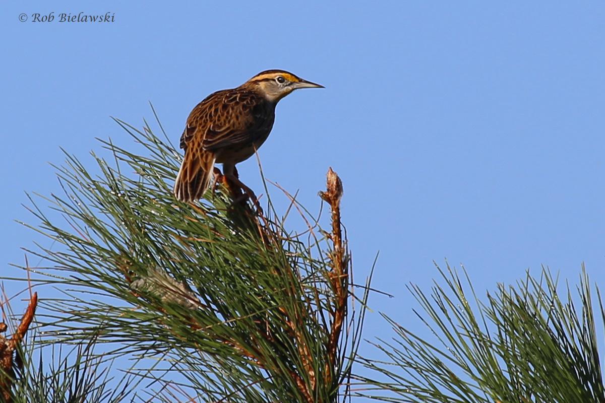 Eastern Meadowlark / 16 Oct / Princess Anne WMA Whitehurst Tract