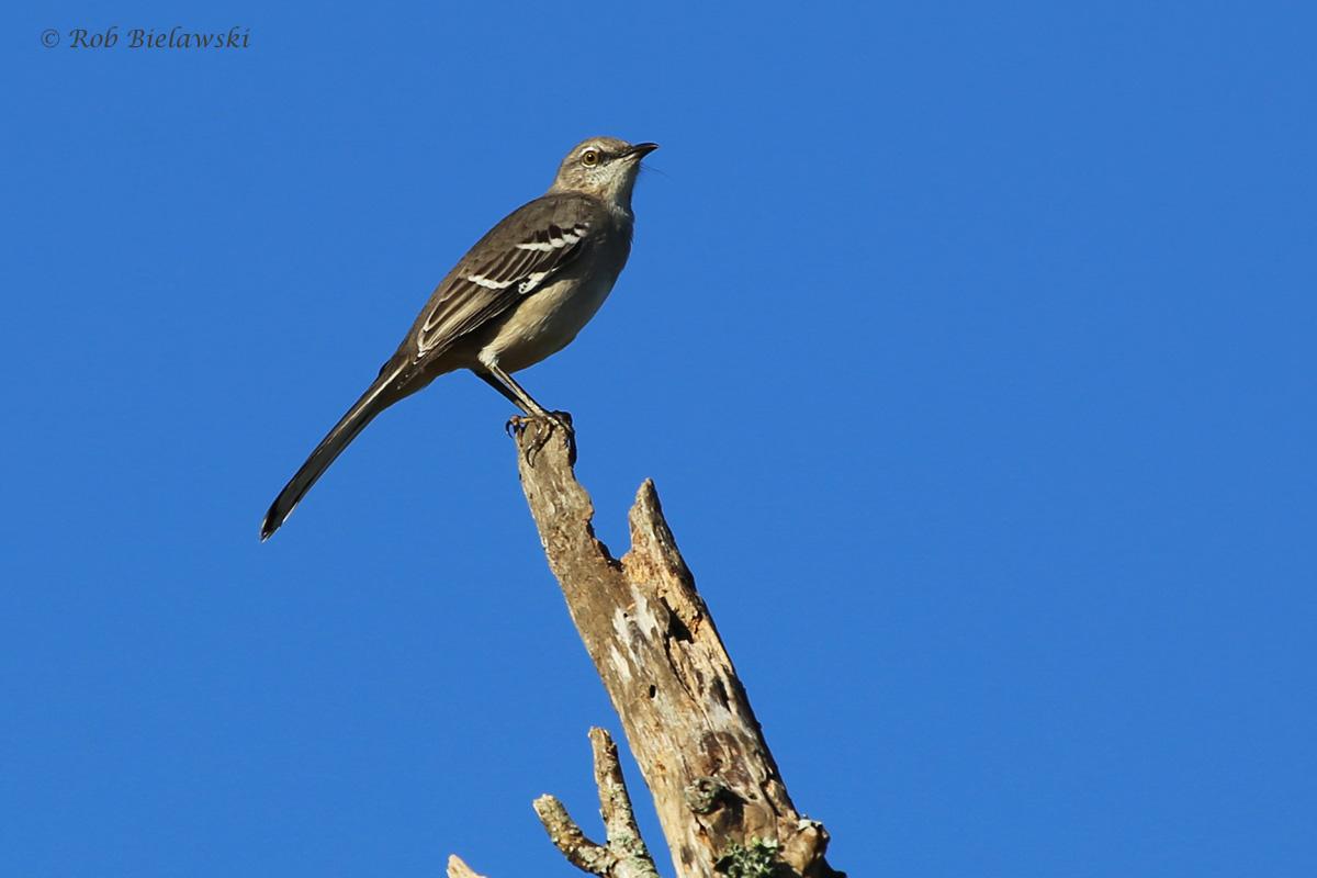 Northern Mockingbird / 16 Oct / Princess Anne WMA Whitehurst Tract