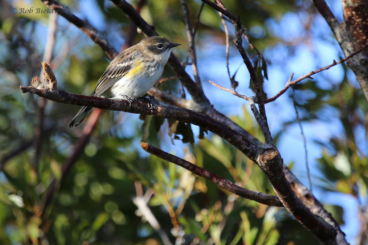 Yellow-rumped Warbler / 16 Oct / Princess Anne WMA Whitehurst Tract