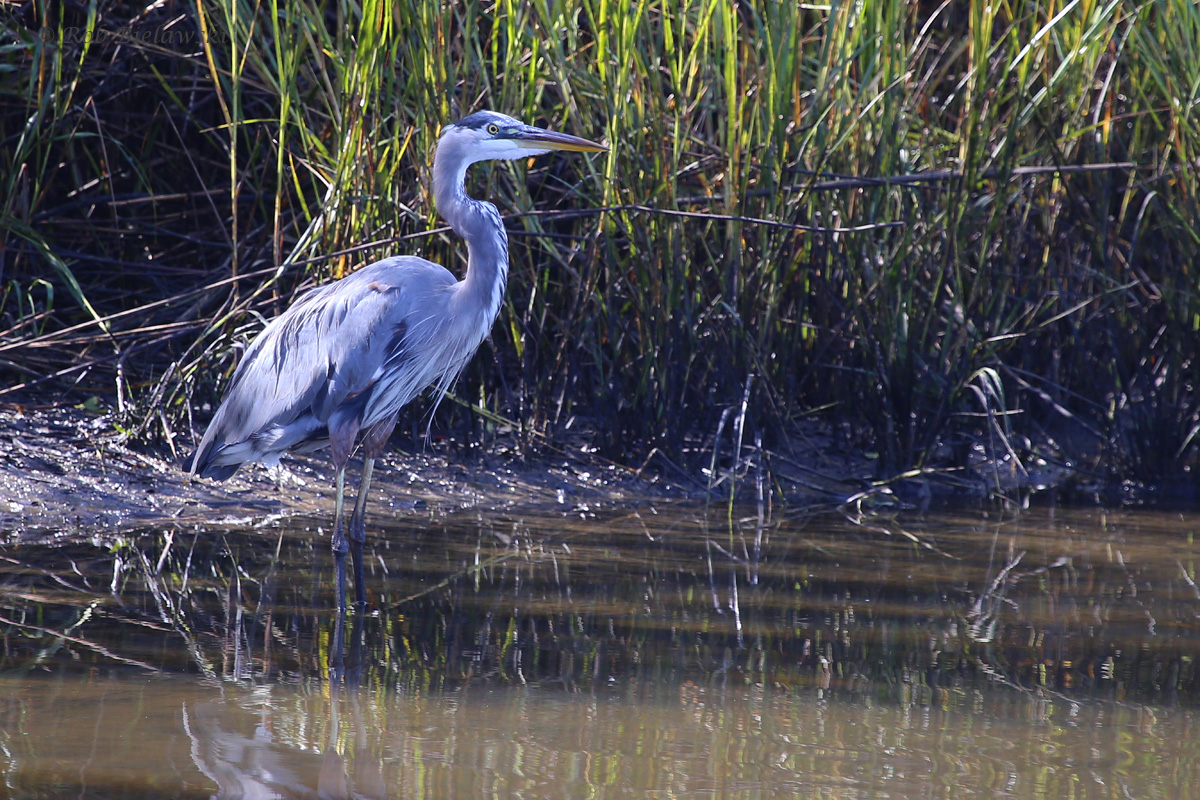 Great Blue Heron / 16 Oct / Pleasure House Point NA