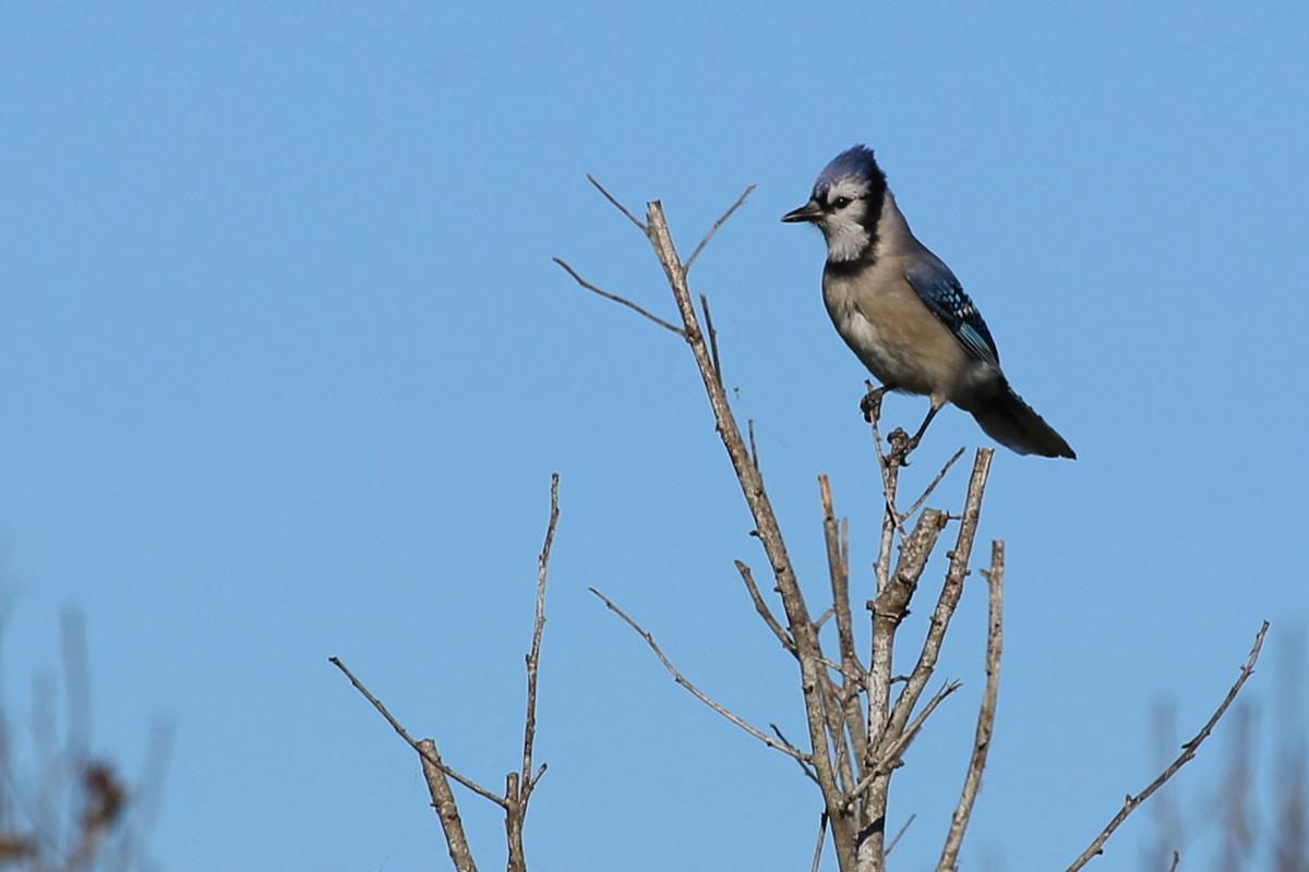 Blue Jay / 23 Oct / Back Bay NWR