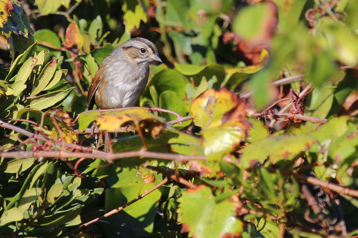Swamp Sparrow / 23 Oct / Little Island Park