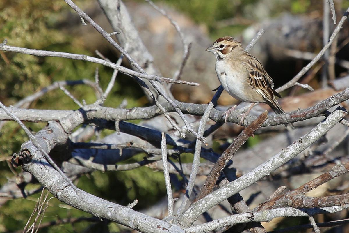 Lark Sparrow / 23 Oct / Back Bay NWR