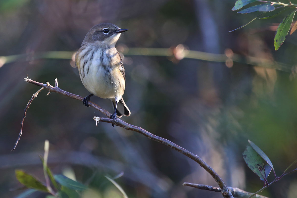 Yellow-rumped Warbler / 28 Oct / Back Bay NWR