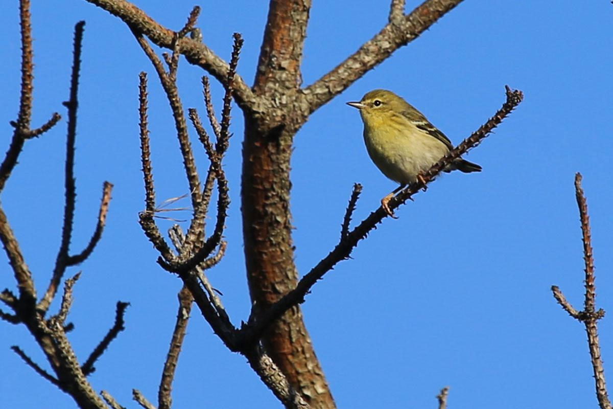 Blackpoll Warbler / 28 Oct / Back Bay NWR