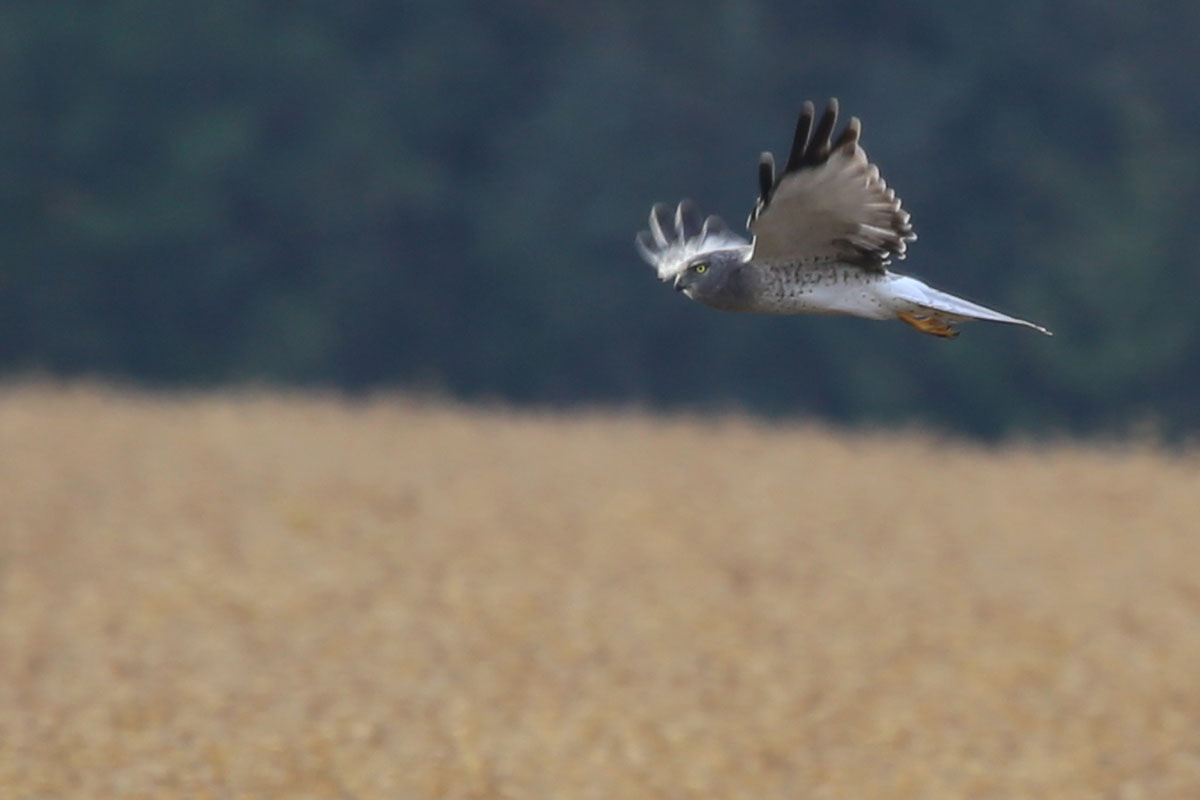 Northern Harrier / 30 Oct / Morris Neck Rd.