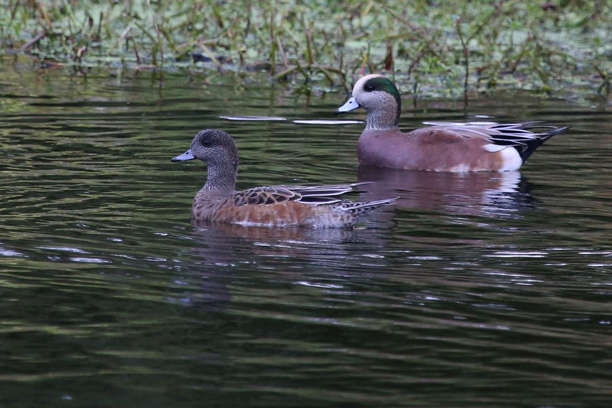 American Wigeons / 30 Oct / Kings Grant Lakes