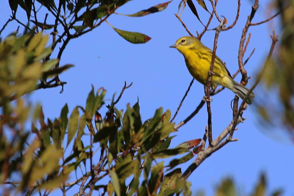 Prairie Warbler / 6 Nov / Back Bay NWR
