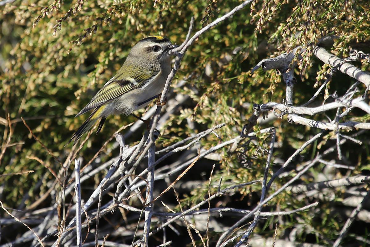 Golden-crowned Kinglet / 6 Nov / Back Bay NWR