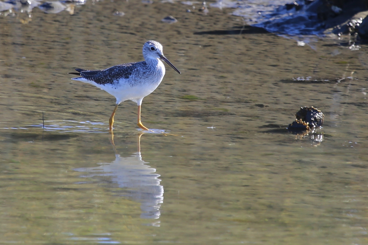 Greater Yellowlegs / 13 Nov / Pleasure House Point NA