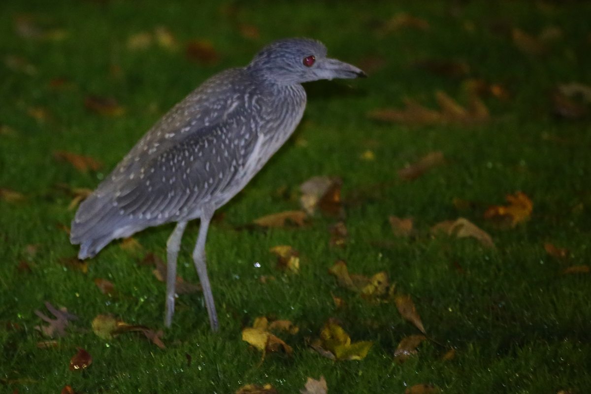 Yellow-crowned Night-Heron / 19 Nov / Oxford Dr.