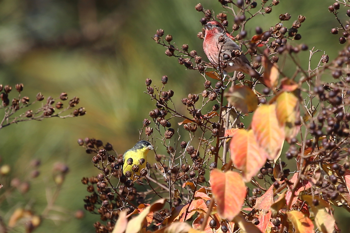 Lesser Goldfinch / 27 Nov / Lago Mar