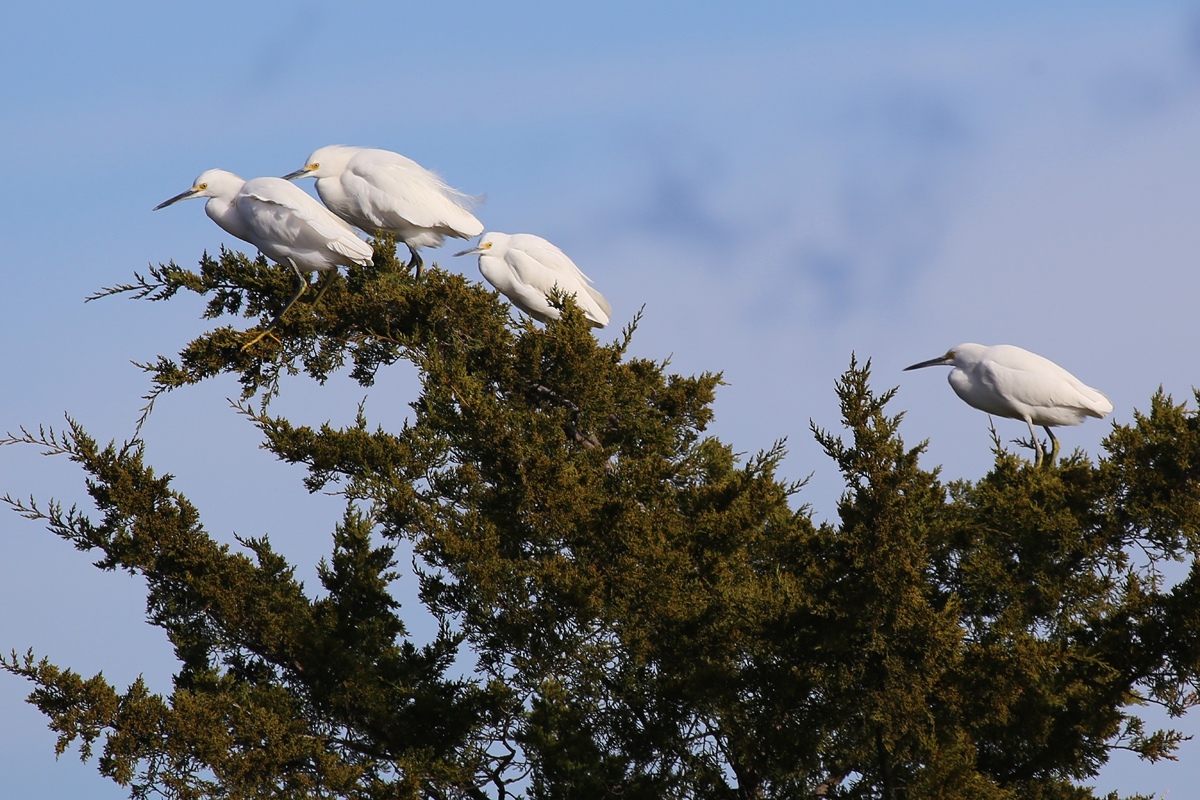 Snowy Egrets / 3 Dec / Pleasure House Point NA