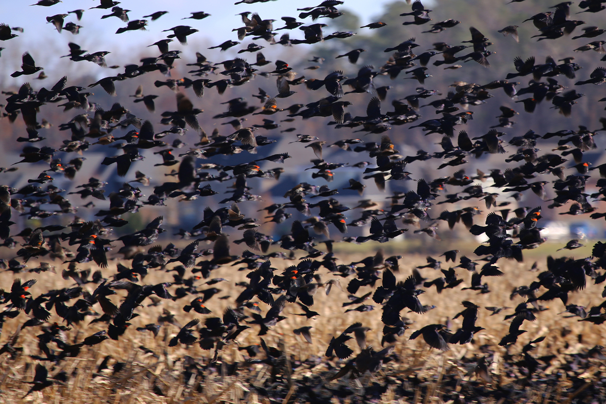 Red-winged Blackbirds with Common Grackles & Brown-headed Cowbirds / 7 Dec / Sherwood Lakes