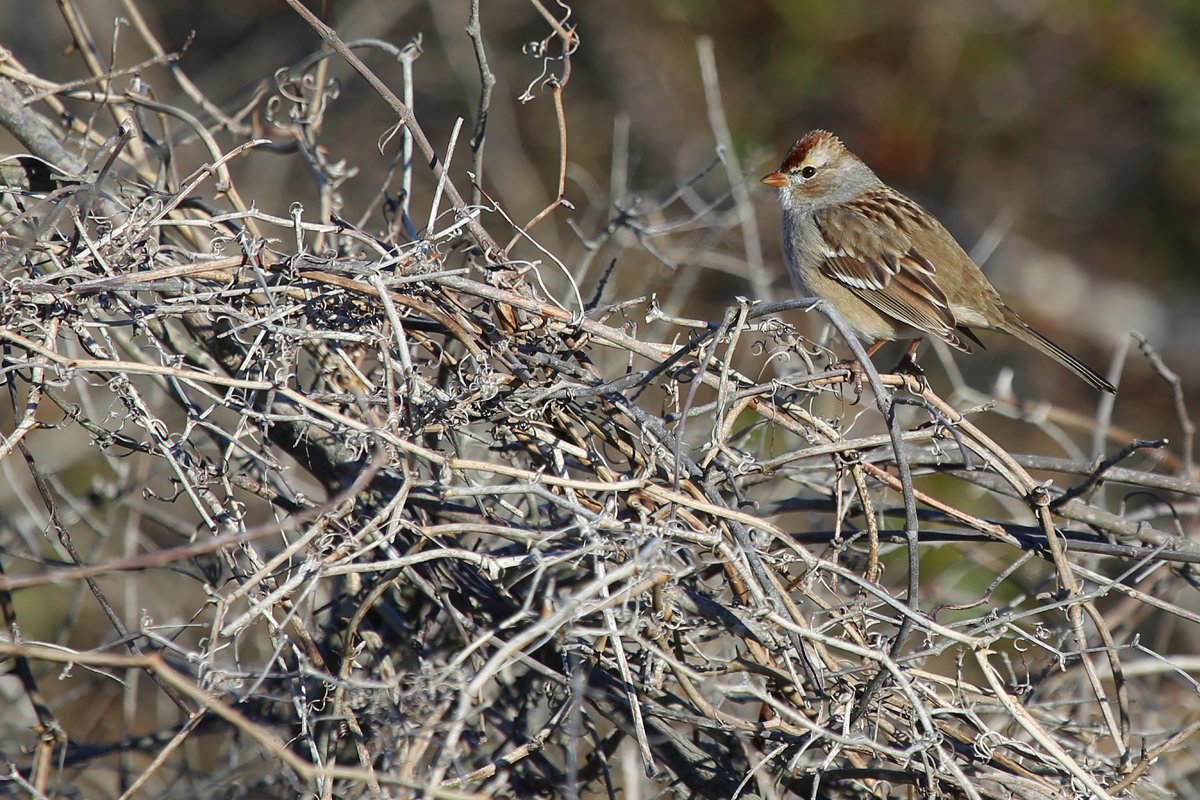 White-crowned Sparrow / 10 Dec / Back Bay NWR
