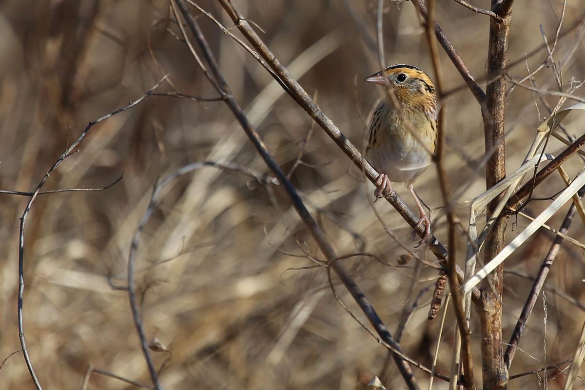 Le Conte's Sparrow / 18 Dec / Princess Anne WMA Beasley Tract