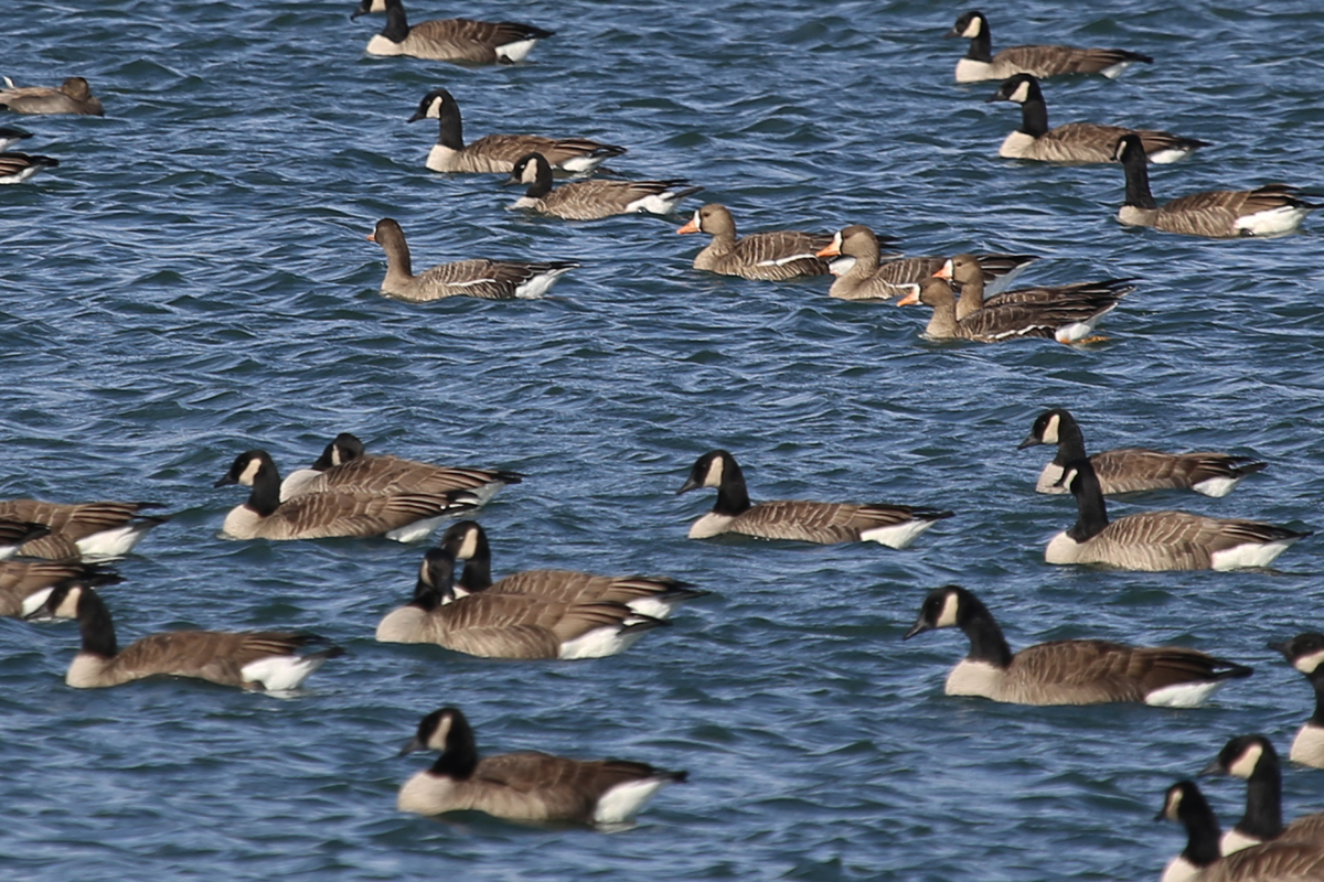 Greater White-fronted & Canada Geese / 18 Dec / Sherwood Lakes