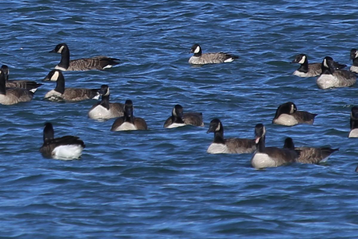 Cackling Goose & Canada Geese / 18 Dec / Sherwood Lakes