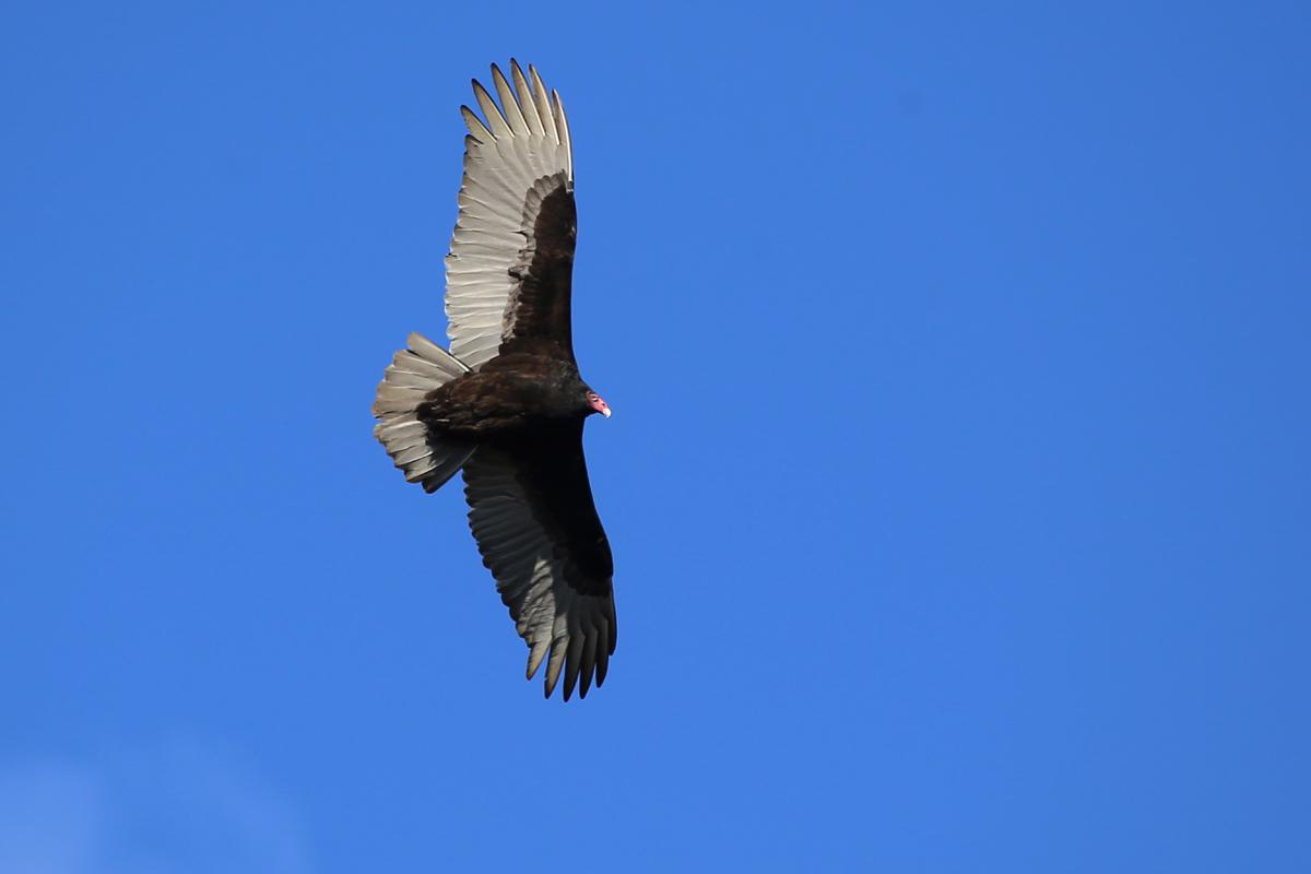 Turkey Vulture / 11 Dec / Princess Anne WMA Whitehurst Tract
