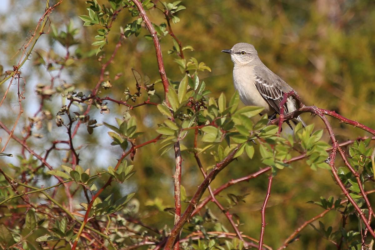 Northern Mockingbird / 11 Dec / Princess Anne WMA Whitehurst Tract