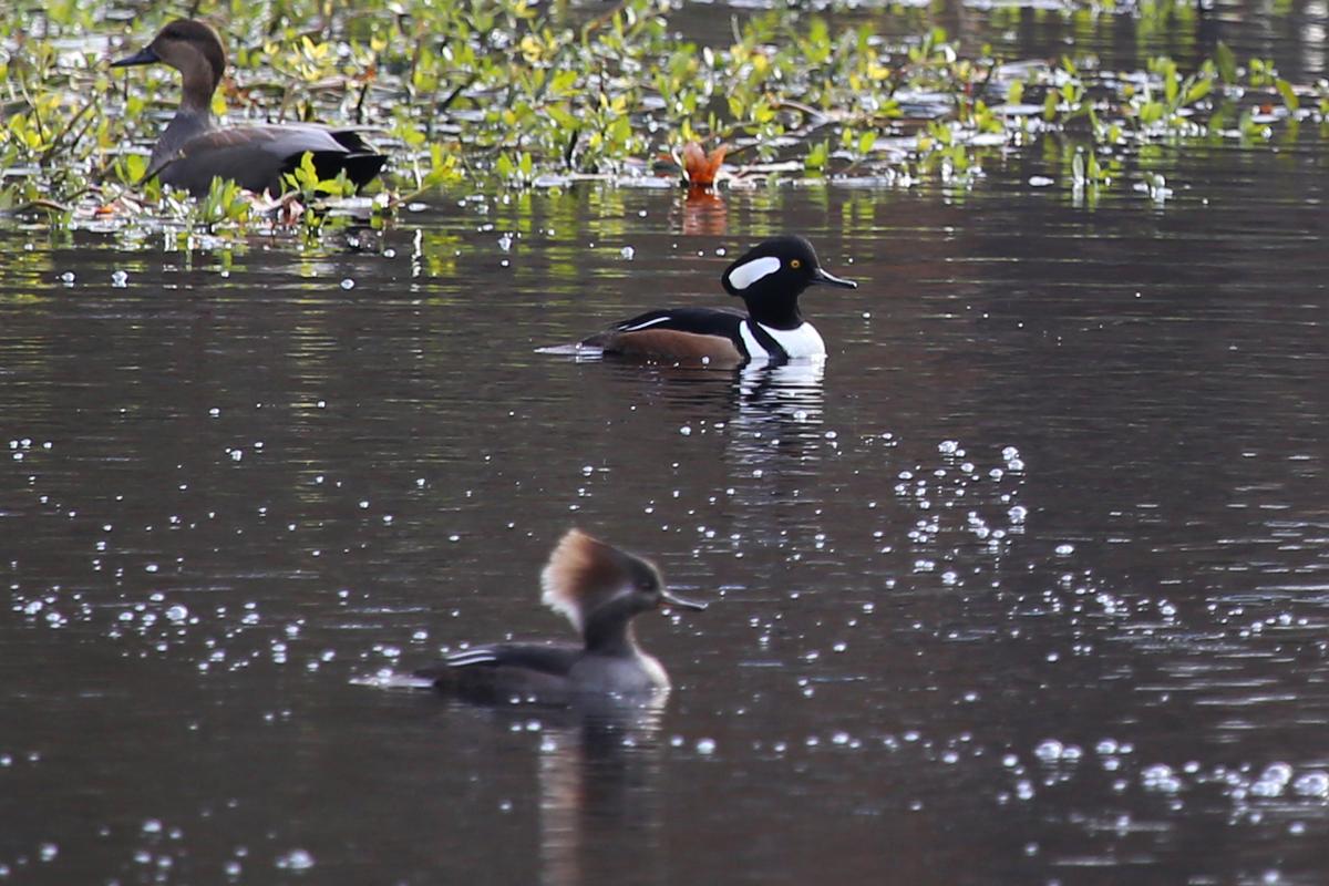 Hooded Mergansers & Gadwall / 11 Dec / Kings Grant Lakes