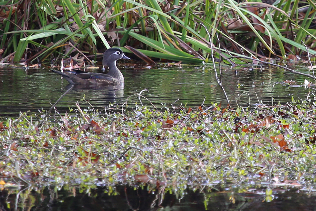 Wood Duck / 11 Dec / Kings Grant Lakes