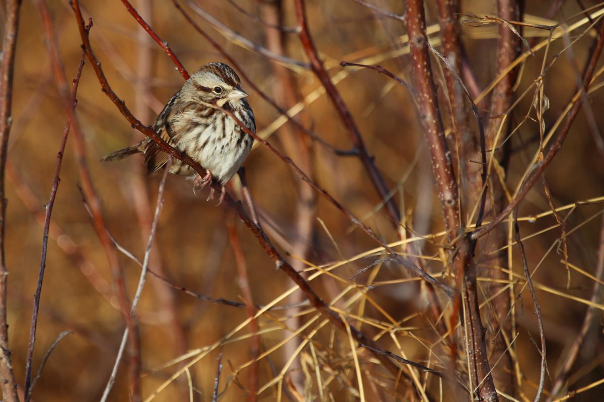 Song Sparrow / 18 Dec / Back Bay NWR