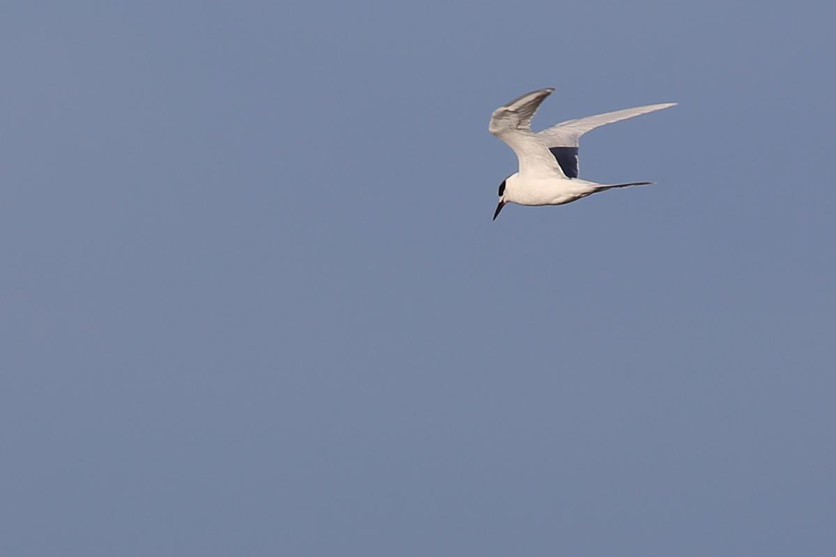 Forster's Tern / 18 Dec / Back Bay NWR