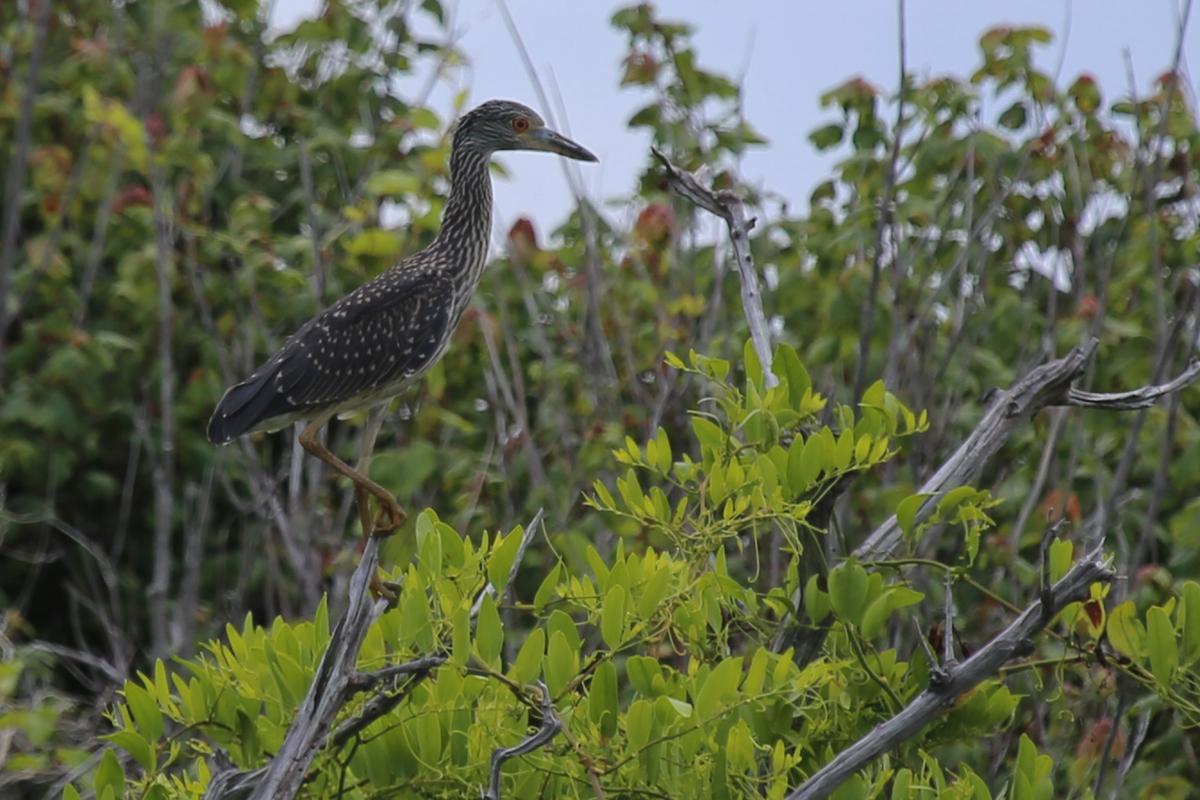 Yellow-crowned Night-Heron / 1 Jul / Back Bay NWR