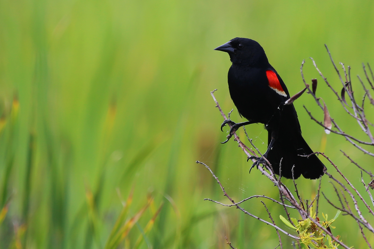 Red-winged Blackbird / 3 Jul / Back Bay NWR