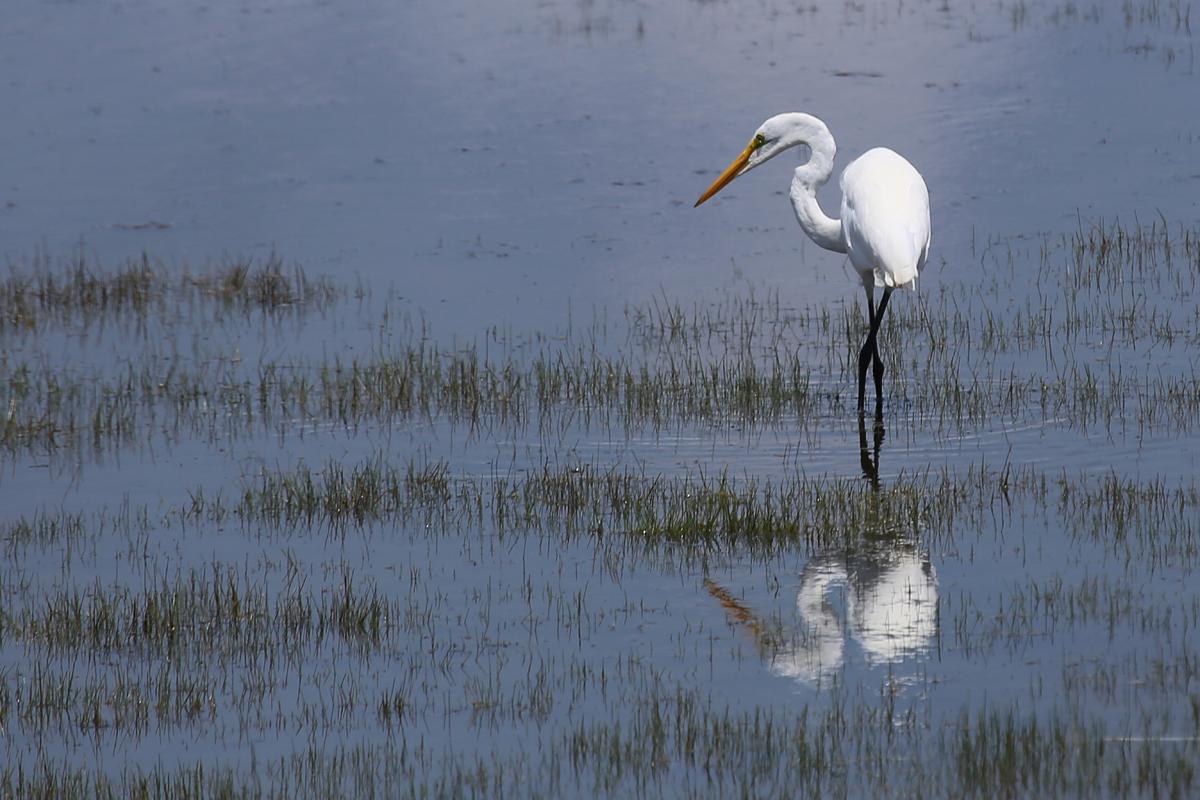 Great Egret / 5 Jul / Back Bay NWR