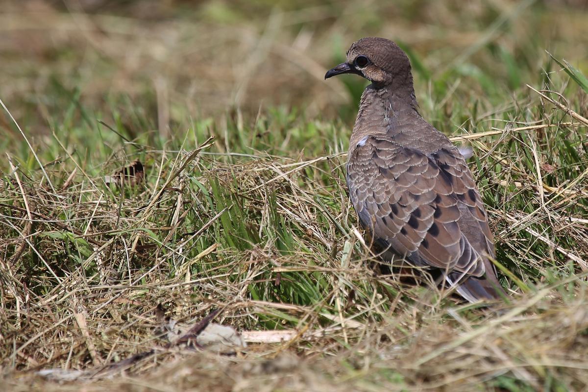 Mourning Dove / 5 Jul / Back Bay NWR