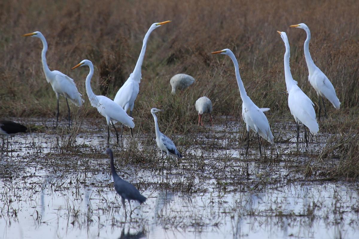 Great Egrets, Little Blue Herons & White Ibis / 14 Jul / Princess Anne WMA Whitehurst Tract