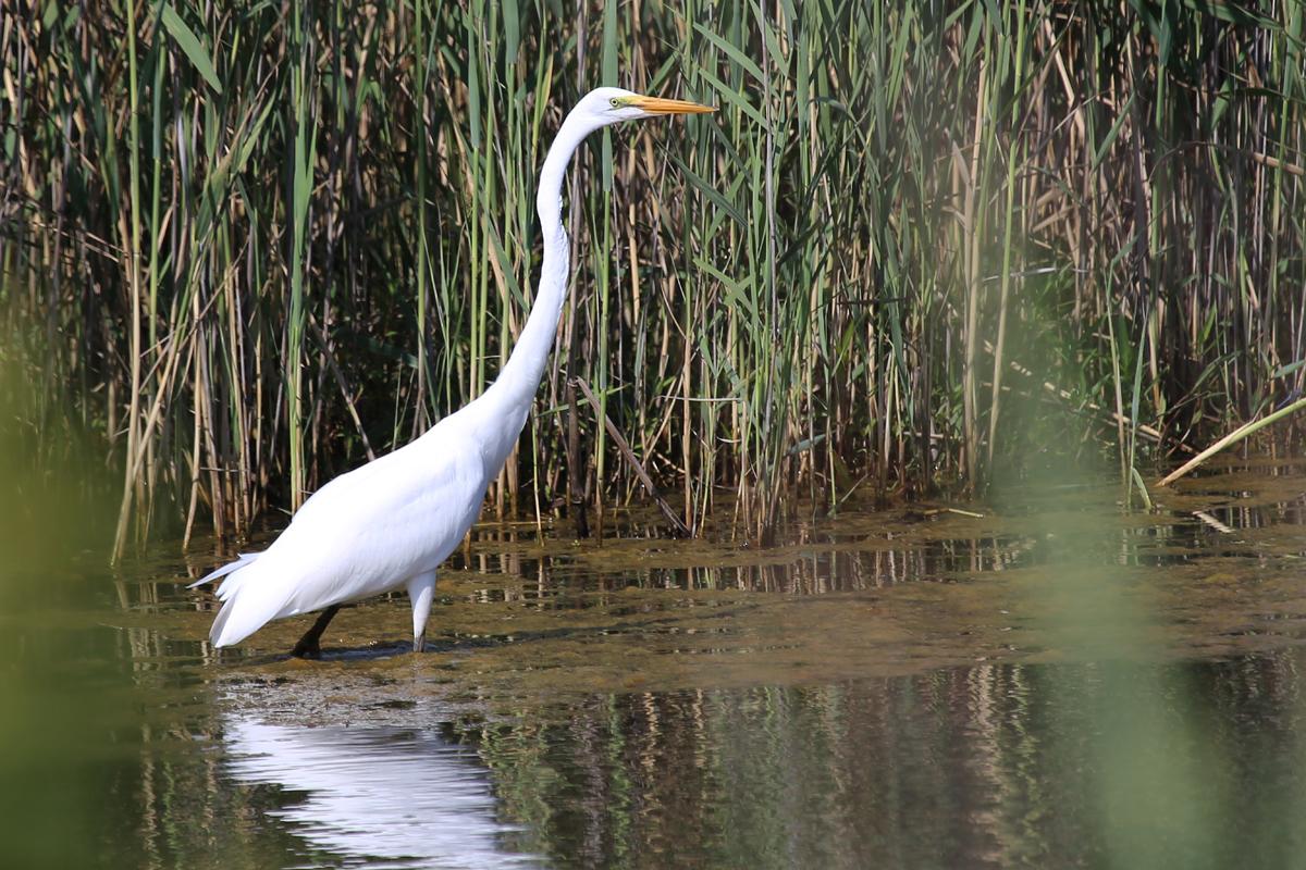 Great Egret / 14 Jul / Princess Anne WMA Whitehurst Tract