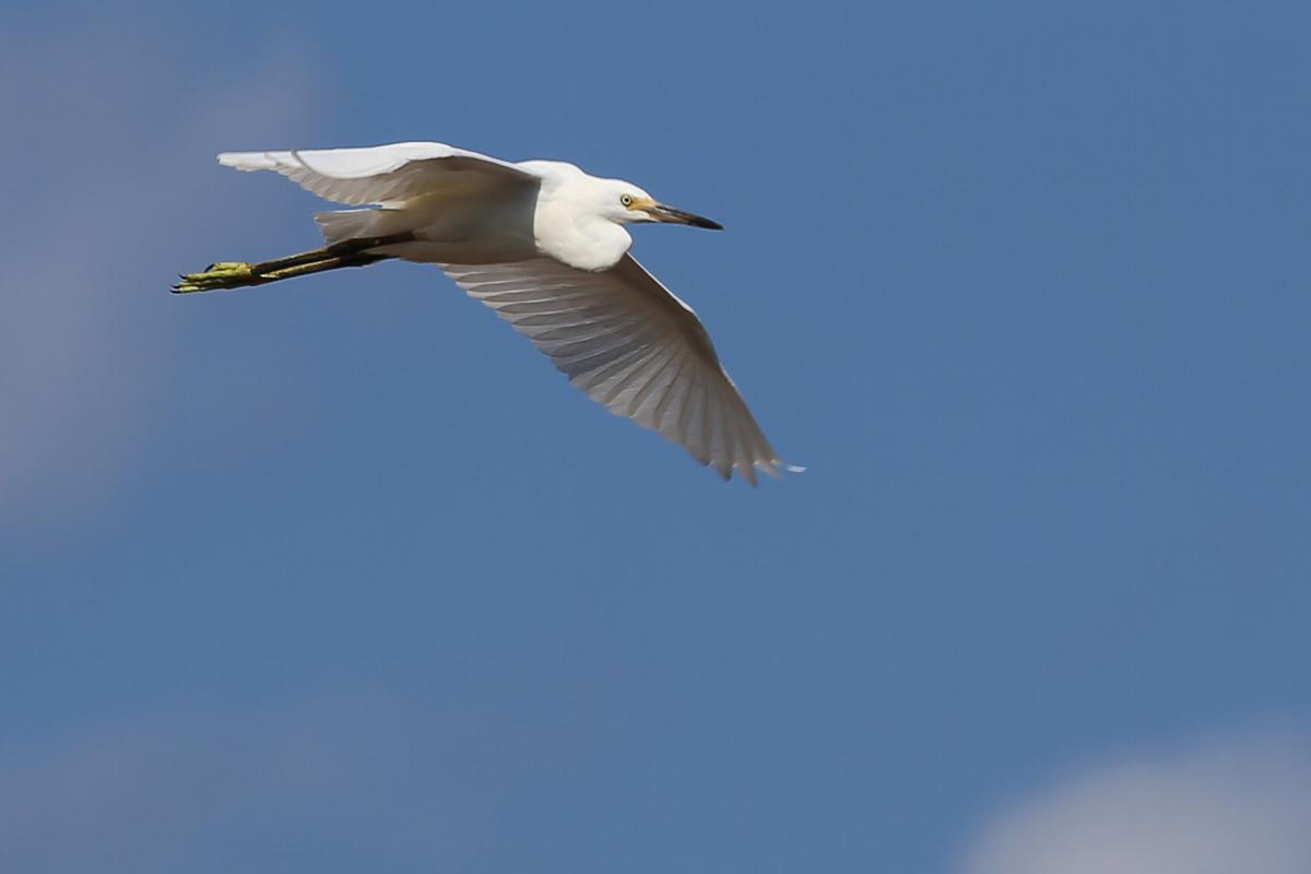 Snowy Egret / 14 Jul / Princess Anne WMA Whitehurst Tract