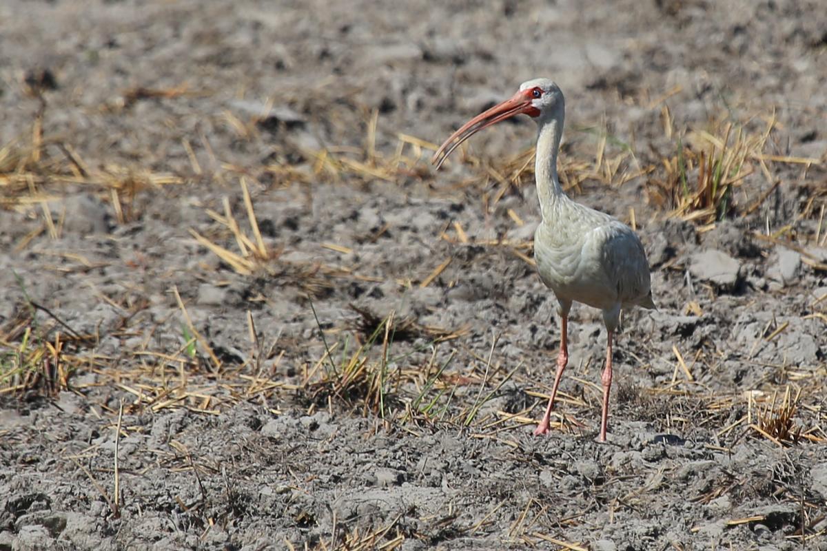 White Ibis / 14 Jul / Princess Anne WMA Whitehurst Tract