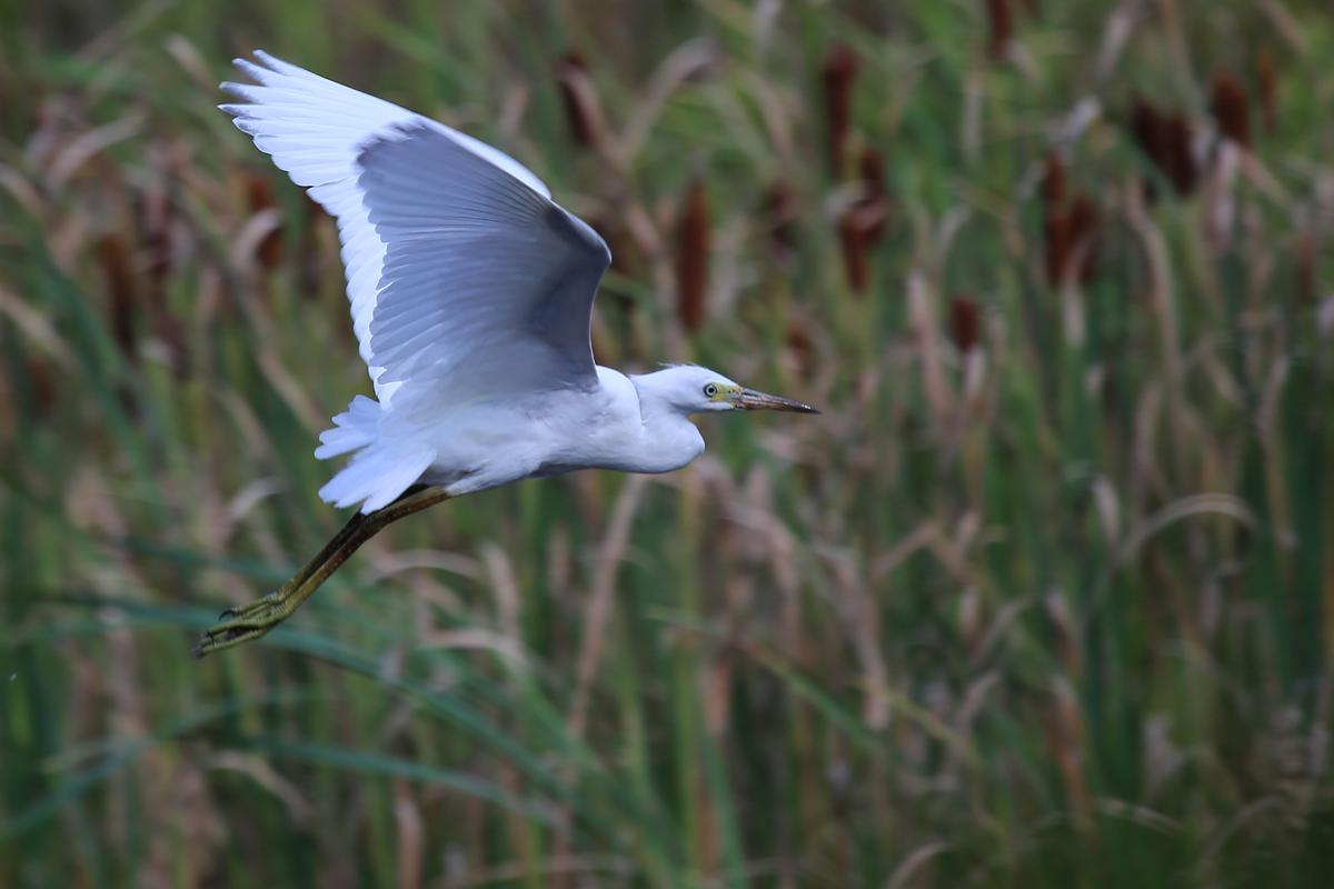 Little Blue Heron / 14 Jul / Princess Anne WMA Whitehurst Tract