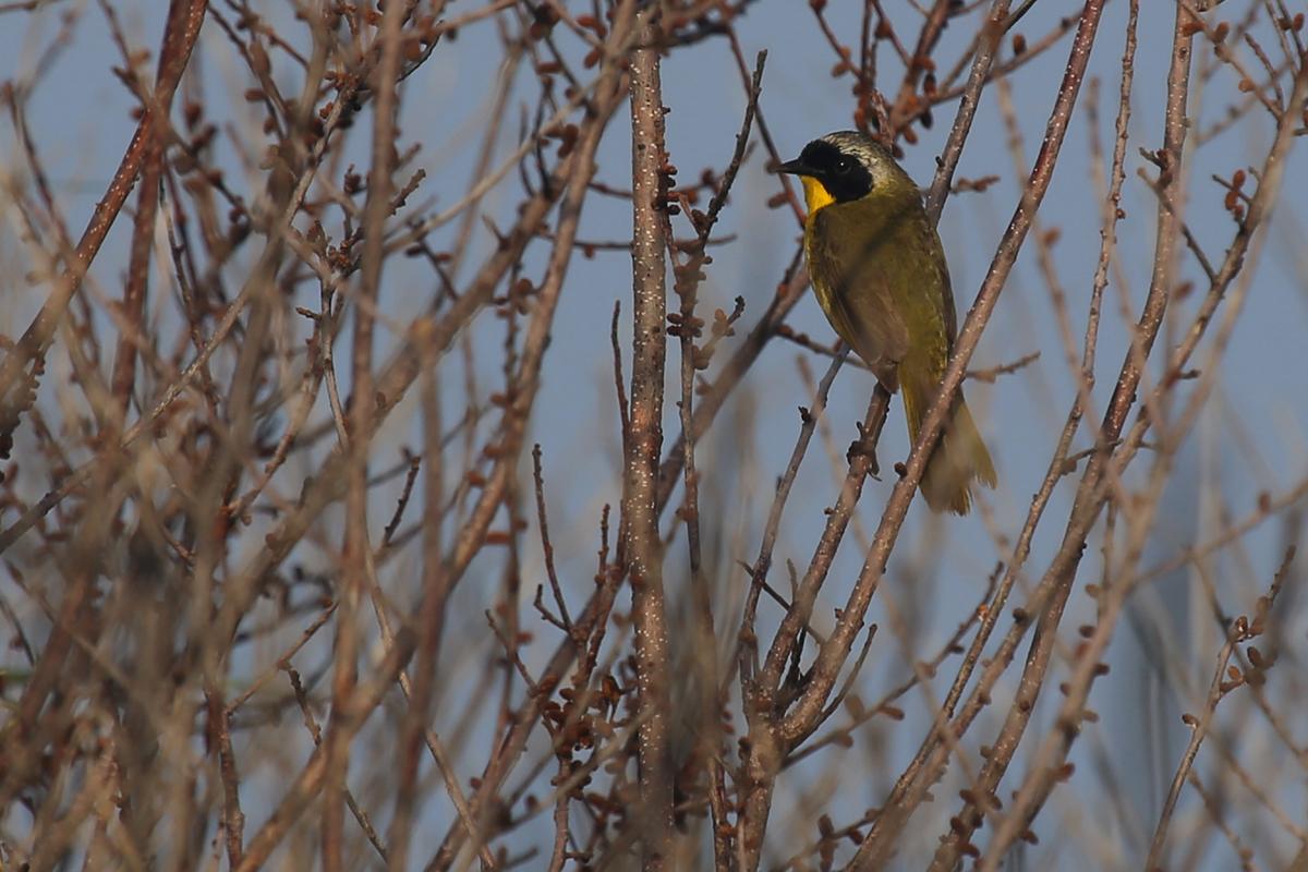 Common Yellowthroat / 15 Jul / Back Bay NWR